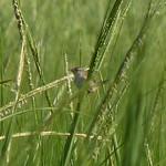 Marsh Wren thumbnail