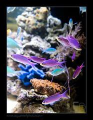 INZOpseud-tuka5949 (kactusficus) Tags: germany aquarium marine purple nuremberg hobby tuka 2014 anthias petfair reefaquarium pseudanthias aquaristic interzoo anthiinae