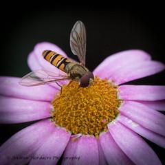 Episyrphus balteatus (57Andrew) Tags: garden hampshire hoverfly episyrphusbalteatus shawford