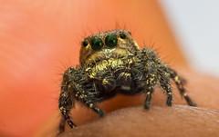 Green Eyes (karthik tappa) Tags: macro nature canon insect spider jumping eyes wildlife greeneyes macros salticide t5i macrodream rebelt5i