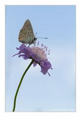Argus Bleu (Ouistiti.Cheese) Tags: france macro animal butterfly bug insect europe papillon alsace fr insecte bestofflickr polyommatusicarus obernai hautrhin argusbleu azurdelabugrane azurcommun mondeminusculeflickr