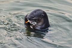 Otter (chooyutshing) Tags: singapore otter marinabay esplanadewaterfront