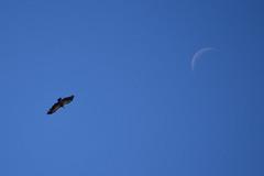El Buitre y la Luna (Hachimaki123) Tags: moon bird animal luna ave vulture birdofprey buitreleonado buitre gypsfulvus griffonvulture averapaz