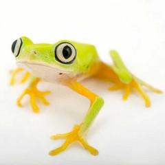 #FrogsLifeSeria #LemurLeafFrog #LemurLeafFrogsSeria #EndangeredSeria #CostaRicaAnimalsSeria #PanamaAnimalsSeria #ColombiaAnimalsSeria #AgalychnisLemur  Taxonavigation Taxonavigation: Neobatrachia  Superregnum: #EukaryotaSeria  Regnum: #AnimaliaSeria  Phyl (mustafagavsar) Tags: agalychnis lemurleaffrog agalychnislemur cuma2015seria cumaseria costaricaanimalsseria amphibiaseria hylidaeseria agalychnisseria panamaanimalsseria gnathostomataseria animaliaseria chordataseria tetrapodaseria endangeredseria phyllomedusinaeseria frogslifeseria lissamphibiaseria anuraseria neobatrachiaseria vertebrataseria colombiaanimalsseria eylul2015seria lemurleaffrogsseria eukaryotaseria chordatacraniataseria agalychnislemurseria september04eylul2015 cumaeylulseria eylul04seria