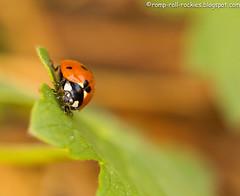 Ladybug (KB RRR) Tags: macro colorado ladybug rockymountains frontrange