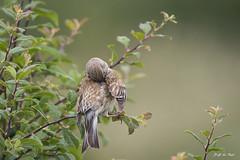 DSC_4330-2 (P2 New) Tags: france juin bretagne date animaux morbihan pays oiseaux fringillidae 2015 sarzeau linottemlodieuse passriformes chateaudesarzeau