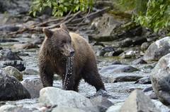 Oh man... fishing is difficult ! (Travel4Two) Tags: bear usa brown alaska cub fishing miss c2 2015 katmai s0 5000k adl3