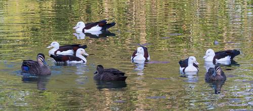 Pacific black ducks & Rajah Shelducks