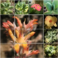 (Tlgyesi Kata) Tags: flower succulent mosaic greenhouse botanicalgarden sedum mozaik euphorbiamilii fvszkert botanikuskert veghz pozsgs varjhj withcanonpowershota620 pompskutyatej