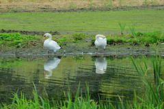 Reflective Swans (jdathebowler Thanks for 4.5 Million + views.) Tags: nature swan muteswans cygnusolor greatphotographers aquaticbird naturescall thebeautyofnature reflectiveswans inexplore15102015