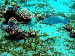 A blue fish (markb120) Tags: from blue red sea fish water animal bed aqua waves flood bottom indigo scuba diving waters underworld backwash seagrass corals vacuity