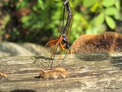 Ichneumon wasp (Dolichomitus imperator?) (Hannah E. Davis) Tags: macro wasp natur ichneumon grunewald wespe hymenoptera parasitoid schlupfwespe