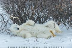 20151110_DSC5073 (Danilo Melzi) Tags: travel canada manitoba polarbear churchill neve inverno viaggio orsopolare houtsonbay