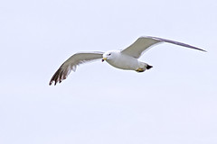Seagull in Flight (Johnnie Shene Photography(Thanks, 1Million+ Views)) Tags: light wild sky people white colour macro bird nature animal horizontal canon lens photography eos rebel spread daylight fly flying still wings focus scenery kiss day angle natural bright image zoom outdoor no wildlife seagull gull low birding flight scenic sigma tranquility scene apo full western modified midair limbs gliding 70300mm length tranquil adjustment freshness dg stationary foreground 456 t3i x5 70300 behaviour  fragility 600d f456