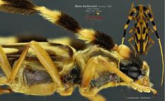 Batus barbicornis (Noël Mal) Tags: cerambycidae trachyderini collrbinsnmal