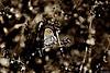 Little Wonder! C (Wildlife_Biologist) Tags: california nature animal butterfly outdoor invertebrate brephidiumexilis russianthistle salsolatragus pygmyblue wildlifebiologist pygmybluebutterfly jeffahrens