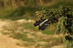 Cornacchia a picco - 2 (piccinesco) Tags: canon v crow pentacon 500mm cornacchia prakticar 40d