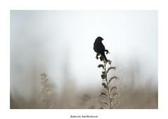 Linotte mlodieuse (bertholino fabrice) Tags: bird nature oiseau environnement biodiversit nikond600 linottemlodieuse baiedesaintbrieuc capturenx2 fabricebertholino tamron150600f63