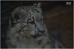 Young Snow Leopard - Zoo krefeld (Mandenno photography) Tags: snow animal animals cat germany zoo big leopard bigcat dieren snowleopard duitsland dierentuin dierenpark zookrefeld