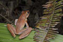 Polypedates leucomystax_MG_5707 copy (Kurt (OrionHerpAdventure.com)) Tags: amphibian frog amphibians commontreefrog polypedatesleucomystax polypedates fourlinedtreefrog frogsofmalaysia