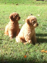 here-are-duke-and-dixie-two-of-pollys-pups-that-were-lucky-enough-to-go-to-the-same-family_15499157872_o