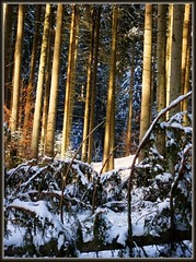 skelett-im-wald (almresi1) Tags: wood schnee trees winter snow wald skelett toterbaum welzheim eisenbachsee schwbischerwald welzheimerwald