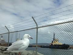 Watching The Tug Boats (AdamsWife) Tags: bird boat seagull australia albany tugboat westernaustralia iphone silvergull