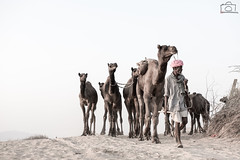 The Walk Back Home (Pradeepprakash) Tags: india sand village desert dune fair highkey tradition migration pushkar camels herd rajasthan villager mela fanfare nomadic 2015