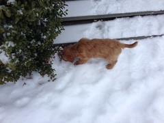 biscuits-loves-to-run-and-play-in-the-snow_16613346026_o
