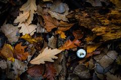 (281/366) Mushroom Amongst the Leafs (CarusoPhoto) Tags: hd pentaxda l 1850mm f456 dc wr re hdpentaxdal1850mmf456dcwrre pentax ks2 john caruso carusophoto photo day project 365 366 autumn autumnal fall forest mushroom leaf leaves leafs beautiful light natural woods preserve