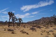 Joshua Tree Park (tazhitdinova) Tags: california cali losangeles joshuatree usa park habitat mojave colorado desert coloradodesert sonoran legend