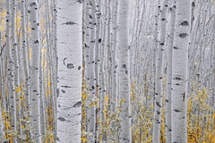 Fade to White (AndersonImages) Tags: aspens colorado fall autumn forest rocky mountains telluride ouray san juans durango high pass