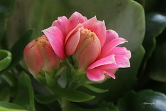 Kalanchoe (frenziM) Tags: flower blossom nature macro closeup bokeh poetry hbw