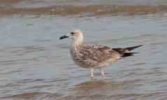 Caspian Gull (Larus cachinnans) (TG23-Birding in a Box) Tags: laruscachinnans caspiangull gulls gull