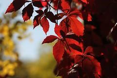 Oggi piove. (SimonaPolp) Tags: leaves foglie fall autumn autunno october ottobre day light giorno luce nature natura red rosso