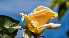 161026 112632 (friiskiwi) Tags: spring flowers nelson newzealand nz