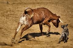 A Campo Abierto (Marcial Carretero) Tags: toro bull bravo brave dog perro cow vaca animals animales cattle ganado campo andalucia andalusian spain