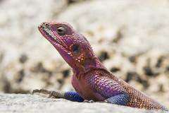 Agama mwanzae (magomu) Tags: serengueti africa tanzania lagarto lizard agamamwanzae