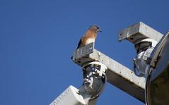 Bluebird (jphillipobrien2006) Tags: lakewoodpinepark wildnewjersey redtailed hawk redbreasted nuthatch easternbluebird