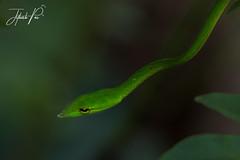 Vine snake (jithupai) Tags: greenvinesnake snake reptile beauty green wild westernghats durgarf