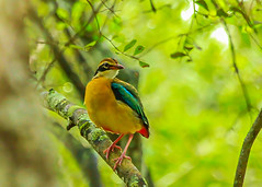 Indian Pitta (Pitta brachyura) (Chandana Witharanage) Tags: srilanka southasia indianpitta pittabrachyura wilpattunationalpark migrantbird awesome beautiful bokeh background colourful closeup colour daytrip explore fantastic green handheld indianocean jeep lovely nice nature naturallight outdoor park perfect unique sightseeing stunning tour trip traveling visit view vista wonderful wildlife specanimal