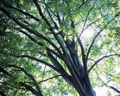 20030518_IMG_0013_trm_mod (NAMARA EXPRESS) Tags: landscape tree gaeden botanicalgarden north fine outdoor color hokkaidouniversitybotanicalgarden sapporo hokkaido japan film fujifilm velvia 100f plaubel makina67 makina nikkor 80mm f28 canon canoscan 9000f scanner scan namaraexp
