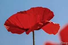 Flor015 (jmig1) Tags: zaragoza nikon d70 flor amapola ababol