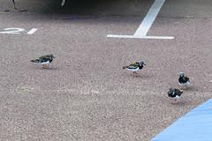 turnstones Broadstairs 210816 (Dan86401) Tags: turnstone ruddyturnstone arenariainterpres bird wildlife nature animal scolopacidae wader wadingbird broadstairs