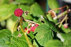 DE LAATSTE FRAMBOZEN || THE LAST RASPBERRIES (Anne-Miek Bibbe) Tags: canoneos700d canoneosrebelt5idslr annemiekbibbe bibbe nederland 2016 tuin garden jardin giardino jardim natuur nature framboos raspberry framboise lampone frambuesa framboesa