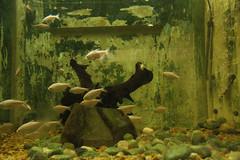 Famlia (PortalJornalismoESPM.SP) Tags: aqurio branco peixes pequeno sujo gua