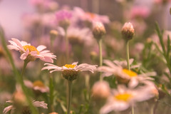 Enchanted (jenni 101) Tags: flowers spring pink bokeh pretty soft daisies