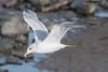Herring (?) gull (Shane Jones) Tags: gull herringgull seabird bird birdinflight wildlife nikon d500 200400vr tc14eii