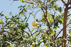 Nature being Amazing/ An abnormally large lemon (makaylarichardson) Tags: green summer spring leaves texture contrast framing fruit lemon sky leaf tree nature
