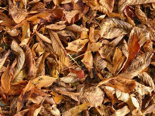 Feuilles de maronnier en automne